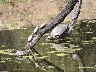 Turtle, turtles, Red-eared Slider Trachemys scripta elegans