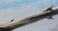 Red-eared Slider Trachemys scripta elegans