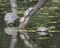 Turtle, turtles, Red-eared Slider, Trachemys scripta elegans