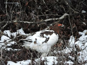 Denali, Denali National Park, willow ptarmigan