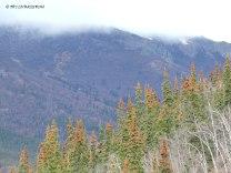 Denali, Denali National Park, black spruce