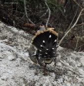 Denali, Denali National Park, spruce grouse