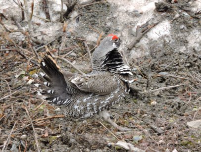Denali, Denali National Park, spruce grouse