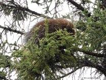 Denali, Denali National Park, porcupine