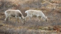Denali, Denali National Park, caribou