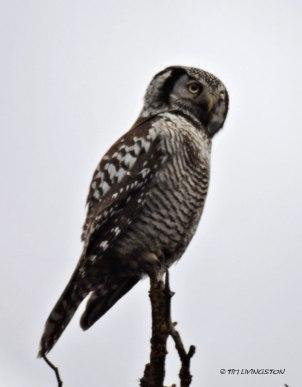 Denali, Denali National Park, boreal owl