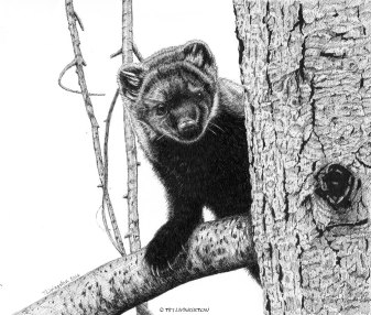 Pacific Fisher, fisher, wildlife, pen and ink, drawing, animals, mammals, art
