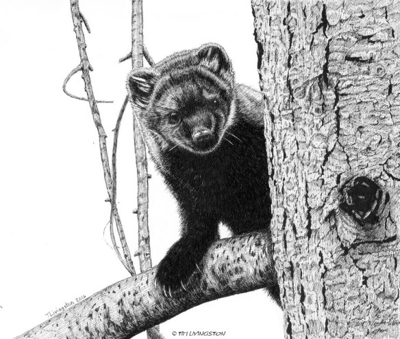 fisher, Pacific fisher, weasel, pen and ink, ink, drawing, mammal