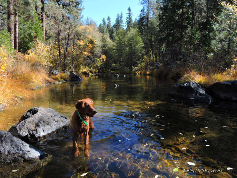 gold, golden retriever, Hayfork Creek