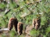 sugar pine, pine cones, sugar pine cones