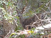 Black-tailed deer, doe