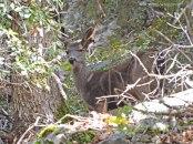 Black-tailed deer, doe