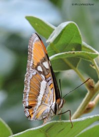California sister butterfly