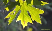 bigleaf maple, maple