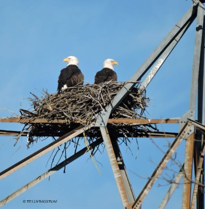I keep waiting for them to gather sticks, but the haven't. I not convinced their serious about nesting here.