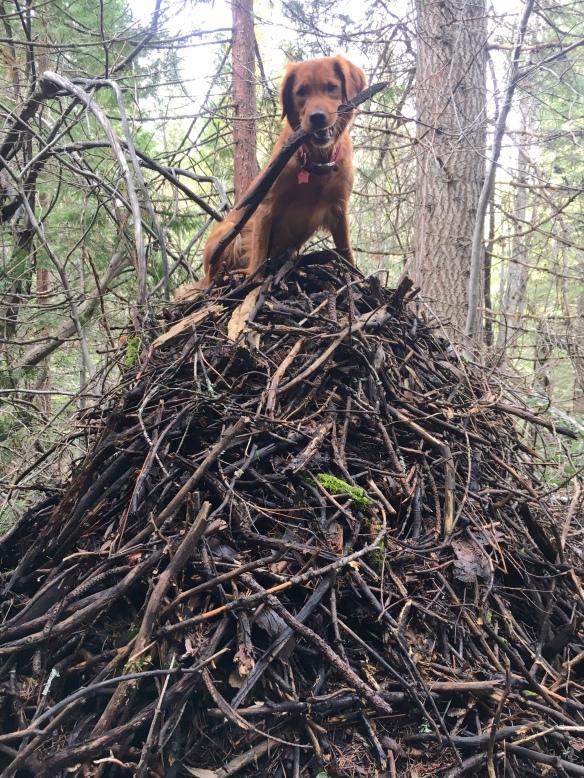 Bliss, wood rat nest
