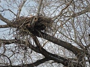 eagle, bald eagle, eagle nest