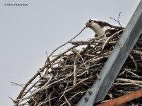 Osprey, nest, nesting, birding, photography