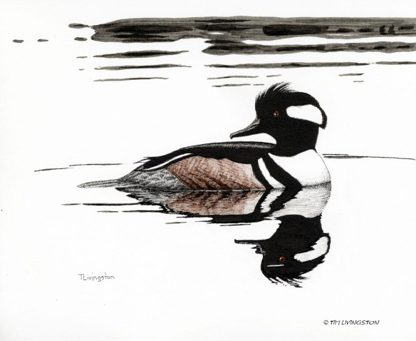 hooded merganser, merganser, waterfowl, birds, birding, pen and ink, drawing, wildlife, wildlife art