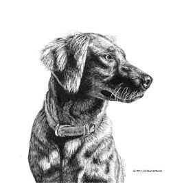 Tasha, golden retriever, dog, portrait, pen and ink, drawing, pet art