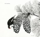 pen and ink, drawing, white-headed woodpecker, wildlife, forester artist