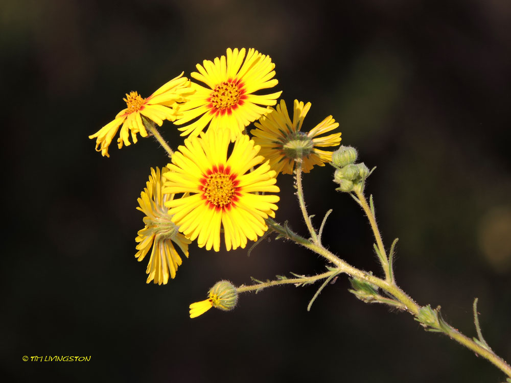wildflowers, Yellow Tarweed