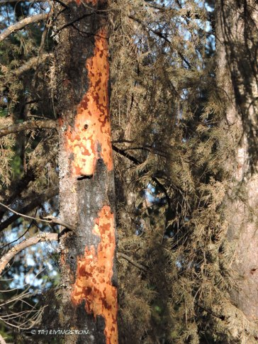 Carr Fire, wildfire, timber, salvage logging, forest, forestry, logging, bark beetles, insect damage