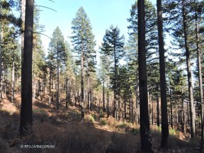 Carr Fire, wildfire, timber, salvage logging, forest, forestry, logging, thinning, forest health