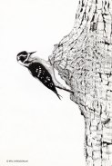 DownyWoodpecker001