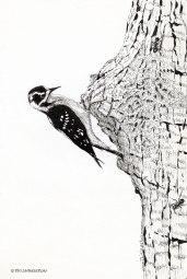 DownyWoodpecker001